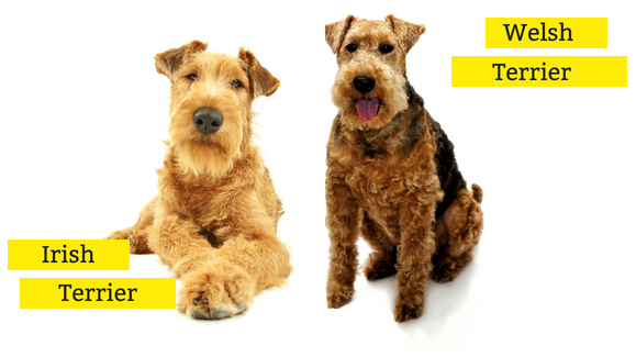 Irish Terrier oder Welsh Terrier im Rasseportrait?